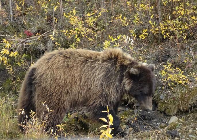 Grizzly. Itinéraire d'un road trip sur la Dempster Highway, Yukon, Canada