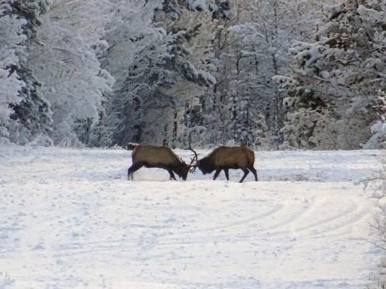 Elans (Wapitis), Yukon, Canada