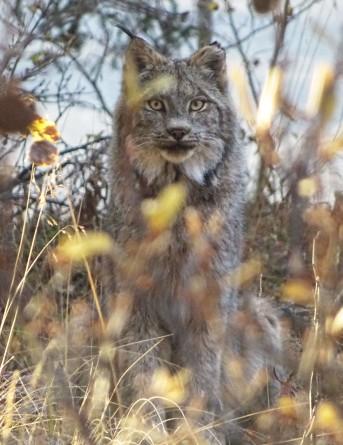 Lynx, Parc national de Kluane, Yukon, Canada