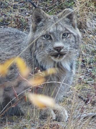 Rencontre avec un Lynx au Parc national de Kluane, Yukon, Canada