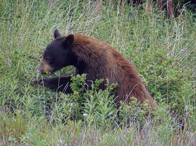 Ours noir mangeant des baies, Yukon, Canada