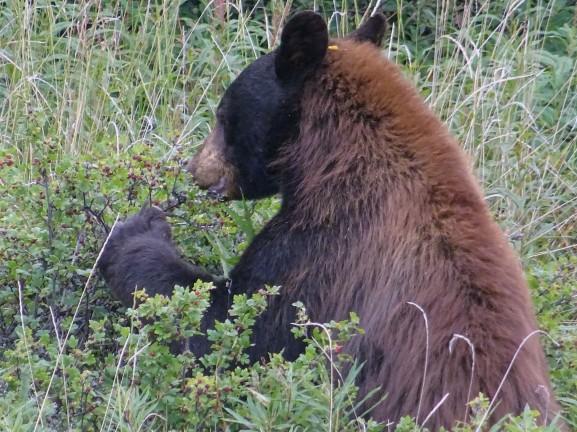 Ours noir, Yukon, Canada