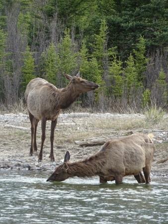 Wapitis à Canmore, Alberta, Canada