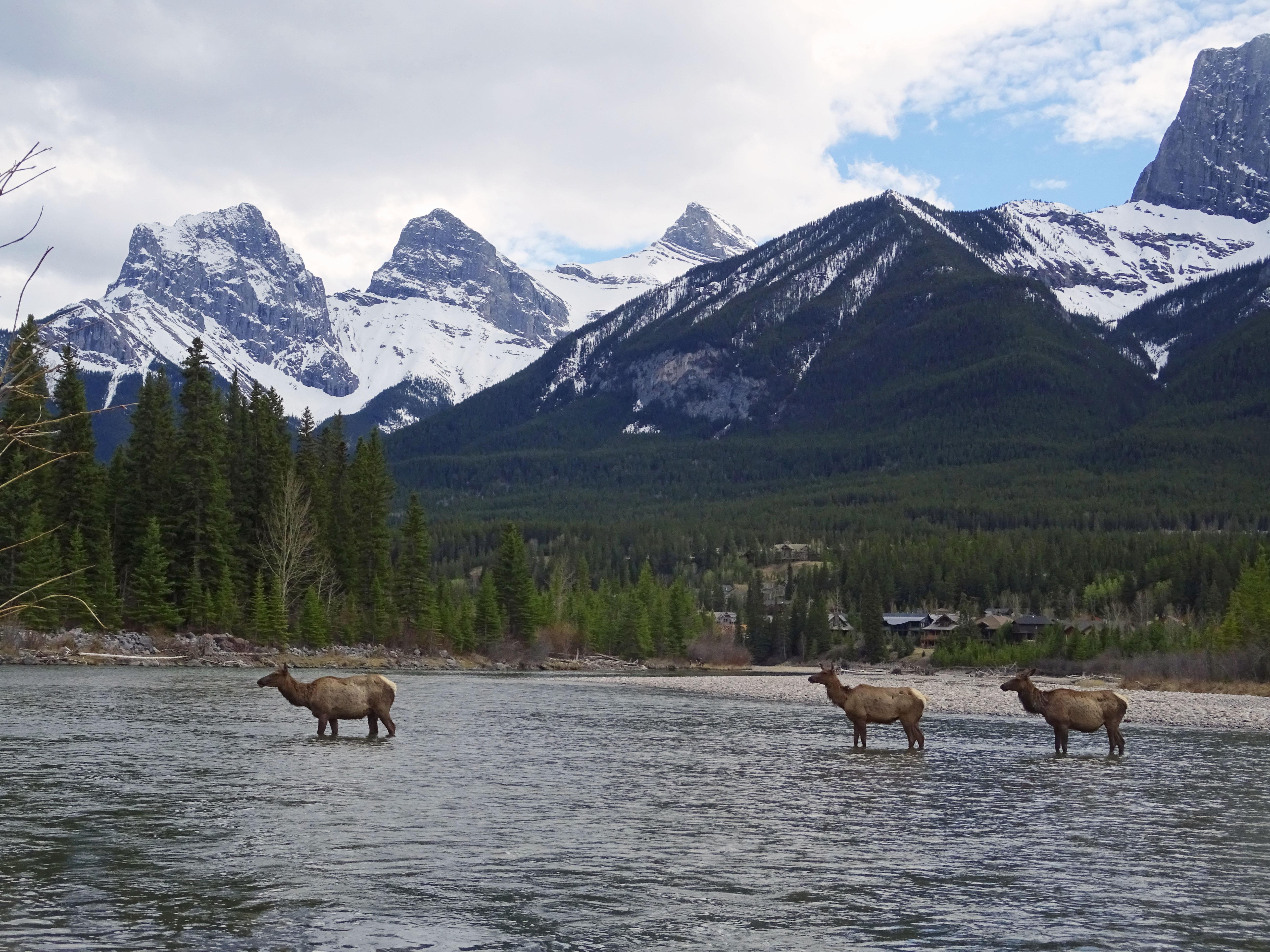 Wapitis traversant la Rivière Bow, Canmore, Alberta, Canada