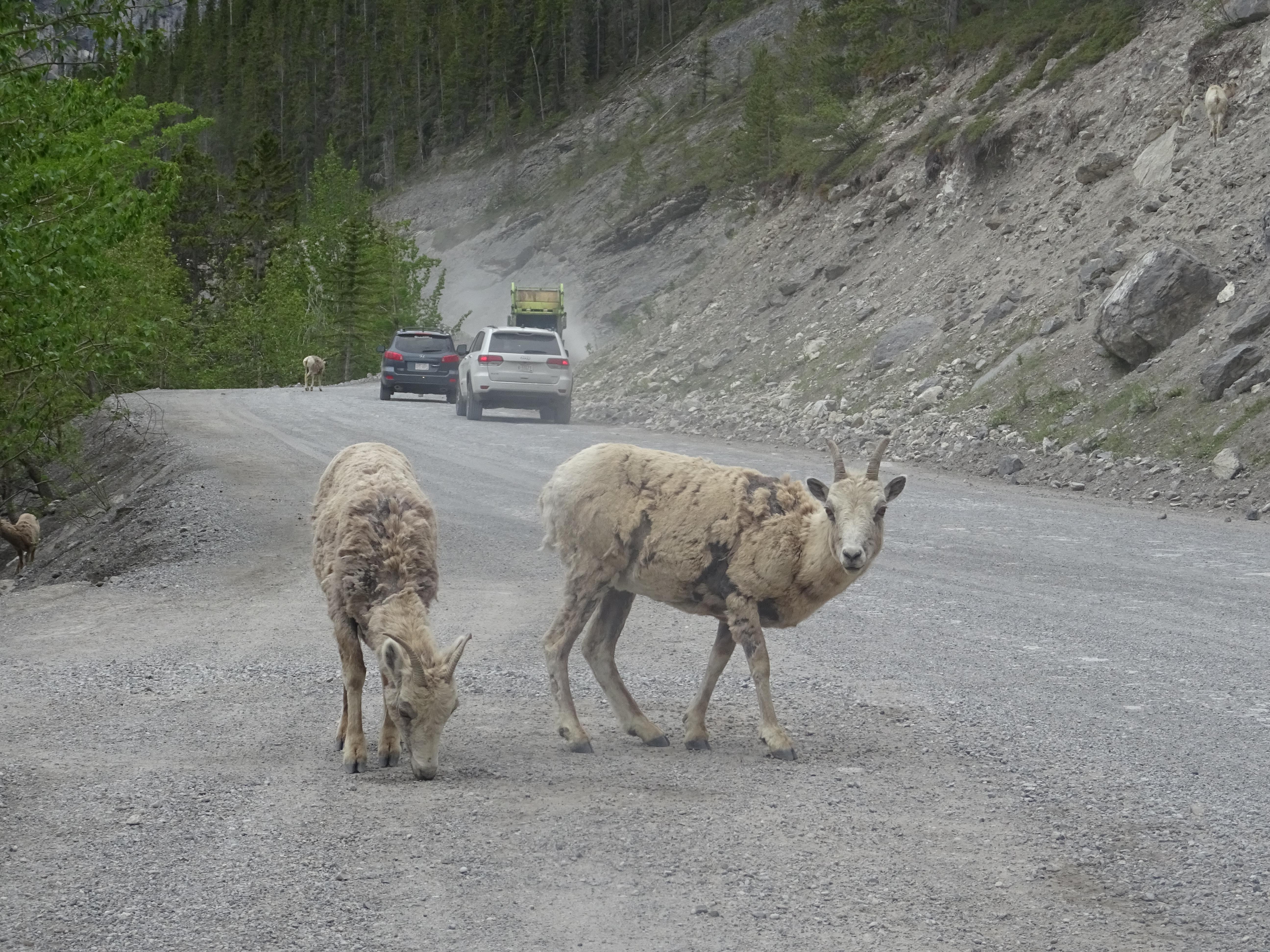 Chèvres de montagne à Canmore, Alberta, Canada
