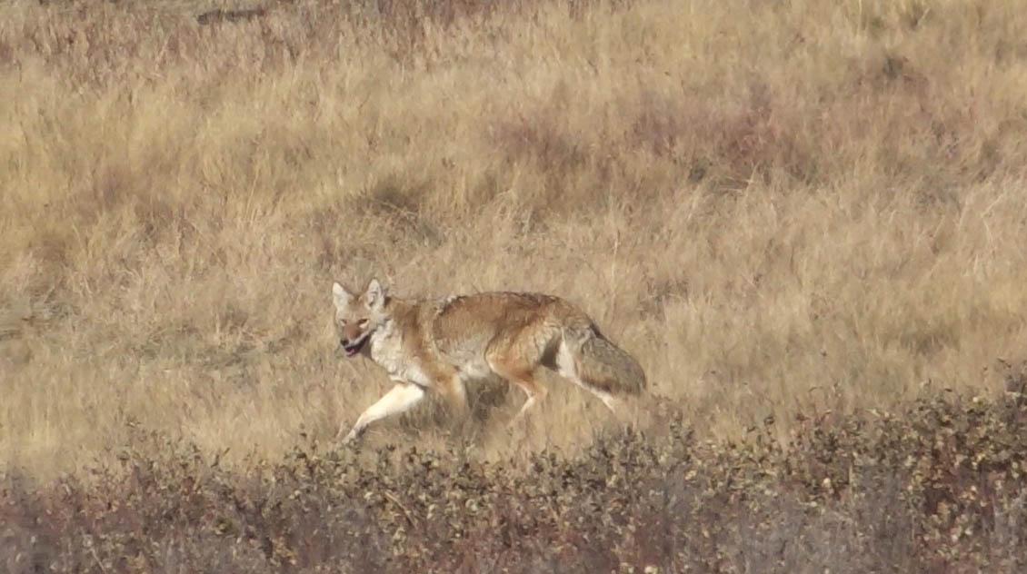 Coyotte au Parc provincial glenvow ranch, Alberta, Canada
